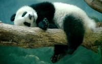 В Китае умер самый старый в мире самец панды