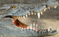 Огромный крокодил едва не оторвал дрессировщику руку во время шоу (видео)