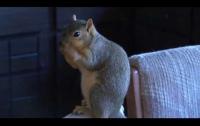 Вместо пса. Сторожевая белка спасла дом от грабителей (Видео)