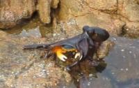 Битва на выживание: состязание осьминога и краба с неожиданным концом (видео)