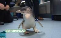 В Новой Зеландии починили пингвина-инвалида