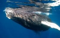 Беспечный серфингист нарвался на агрессивного кита