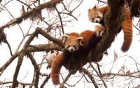 Красные панды сбежали из вольера в зоопарке Сиэтла
