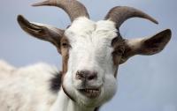 В Сербии коза съела у хозяев €20 тысяч