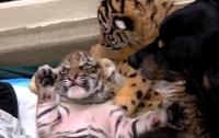 В зоопарке США овчарка стала приемной мамой для трех тигрят (видео)