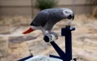 Продвинутый попугай развлекается за рулем собственного мини-автомобиля (ВИДЕО)
