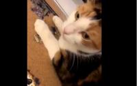 Мстительный кот спихнул в бассейн укусившего его сородича (видео)