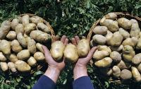 Отечественное картофелеводство спасет украинская наука