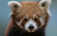 Редкая красная панда сбежала из зоопарка Белфаста