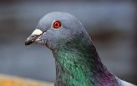 ЦРУ рассекретило планы по использованию голубей-разведчиков