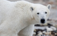 Белый медведь убил человека в Канаде впервые за 18 лет