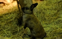 От так не повезло: кролик втік від кота і одразу попав в пазури сови