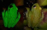 Ученых потрясла удивительная люминесцентная лягушка (видео)