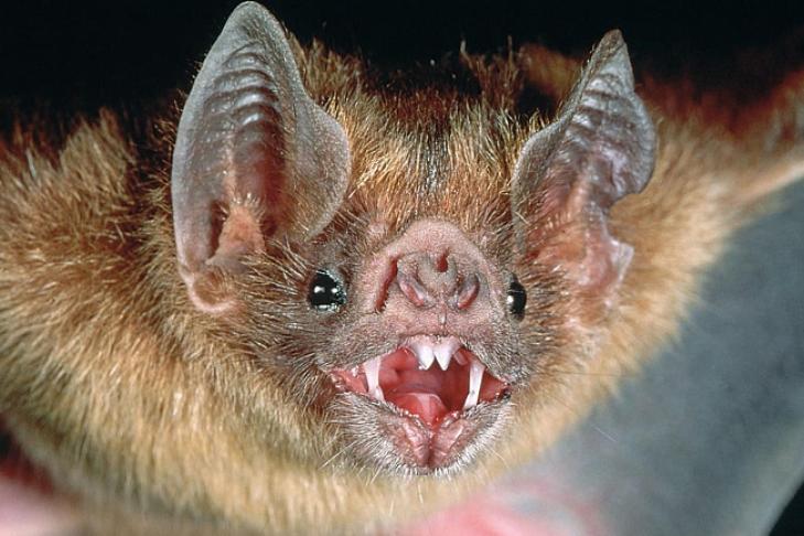 Летучие мыши-вампиры начали пить человеческую кровь— Ученые шокированы