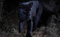 В Африке впервые за сто лет сфотографировали редкого черного леопарда