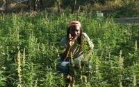 Британская полиция попросила владельца плантации марихуаны