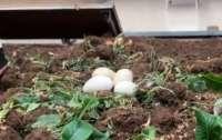 Гуска, що знесла яйця на вокзалі, стала зіркою мережі (ВІДЕО)