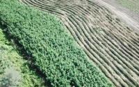 Под Одессой обнаружили огромное поле конопли (видео)