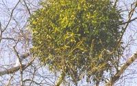Зимой и летом одним цветом – омела: польза и вред