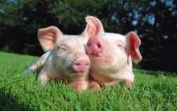 Ученые сделали сенсационное открытие об умственных способностях свиней