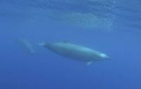Ученые впервые засняли редчайшего кита Земли (видео)