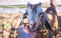 Пьяные мужчины решили похитить козу, но их поймала доблестная полиция