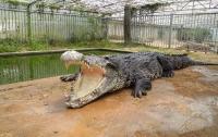 У крупнейшего крокодила Китая разбежались глаза из-за обилия невест