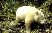 Панда альбинос найдена в Китае