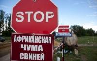 В Украине вспыхнула африканская чума свиней