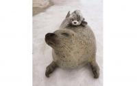 Соцсети в умилении от японского тюленя, обнимающего свою копию