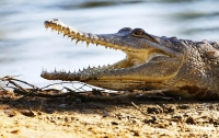 Крокодилы выгнали жителей Уганды из домов
