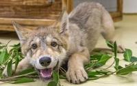 Мужчина спас и вырастил волчонка у себя дома