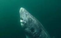 Живет уже 500 лет: ученые нашли уникальную акулу