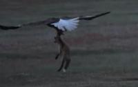 Схватка орлана и лисы за добычу попала на видео