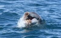 Ученые впервые увидели, как дельфин рвет осьминога на части