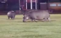 Бегемоты помешали спортсменам доиграть матч (видео)