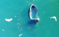 Горбатый кит ради обеда притворился бассейном (видео)