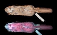 Ученые: белки-летяги в ультрафиолете светятся розовым