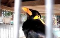 Птичка имитирует мобильный рингтон (ВИДЕО)