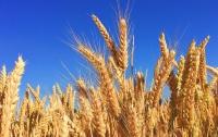 В Украине собрали самый большой в истории урожай зерна
