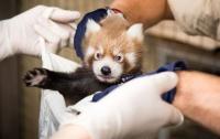 Детеныш красной панды родился в зоопарке Хельсинки