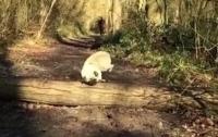 Не в форме: толстый мопс не смог перепрыгнуть бревно (видео)