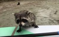 Енот пытался ограбить байдарочницу (видео)