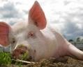 Куры против свиней или кому выгодна африканская чума в Украине