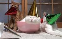 Пьяные коты не понимают, что находится у них на голове (ВИДЕО)