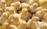 Из выброшенных на свалку яиц вылупились сотни цыплят (видео)