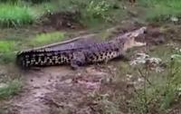 Гигантский крокодил перепугал жителей индонезийской деревни