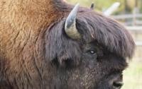 В США разъяренный бизон атаковал ребенка (видео)