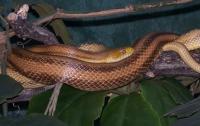На поцелуй киевлянина со змеей, рептилия ответила укусом
