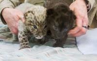 В зоопарке США родились детеныши исчезающего амурского леопарда